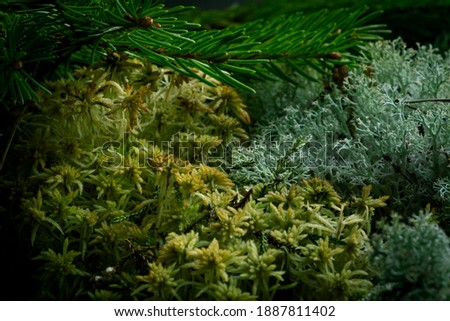 Natural composition card with forest moss and spruce evergreen twigs,  abstract textures and materials of nature flora background Royalty-Free Stock Photo #1887811402