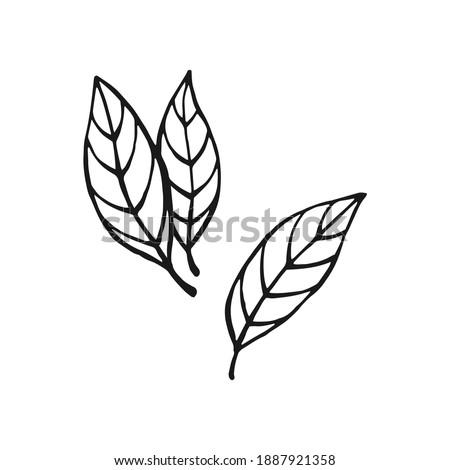 Hand drawn bay leaves. Design elements isolated on white. Cooking icons. Vector illustration. Royalty-Free Stock Photo #1887921358