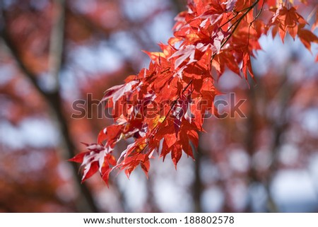 Red leaves #188802578