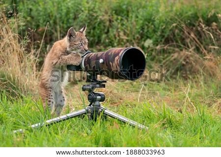 Lynx cub as wildlife photographer. Funny image of lynx acting like a human. Animal photo Royalty-Free Stock Photo #1888033963