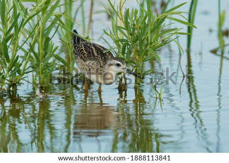 A juvenile Wilson's Phalarope is wading in the shallow water hunting for bugs. Ashbridges Bay Park, Toronto, Ontario, Canada. Royalty-Free Stock Photo #1888113841