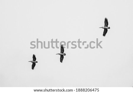 Three flying spot billed pelicans