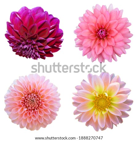 set of dahlia flowers in America flower garden