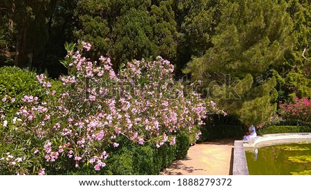 Beautiful Pink Oleander shrubs over trimmed bushes along a path, in front of a not working fountain with greenish water and floating water-lily leaves in luxuriant Nikitskij botanical garden. Royalty-Free Stock Photo #1888279372
