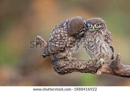 Two little owl Athene noctua on a beautiful background.