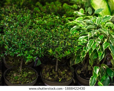 Myrtle is  genus of evergreen woody plants with white fluffy flowers containing essential oils of  myrtle family. Growing indoor plants. Young plants in pots, prepared for transplanting. Royalty-Free Stock Photo #1888422430