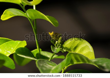 Macro picture of small insect (Grasshopper) on the green leaf with black background
