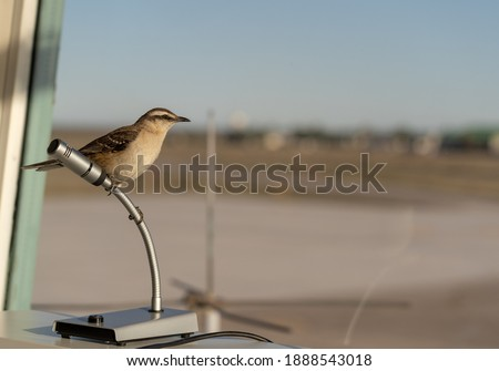 Mimus patagonicus (Patagonian Mockingbird) perched on a microphone