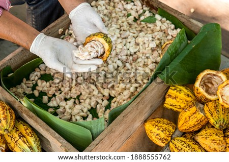 Cacao pods cocoa pods organic chocolate farm Thailand, Cacao Thailand pods, Fresh cocoa pod cut exposing cocoa seeds, with a cocoa plant in Thailand. Royalty-Free Stock Photo #1888555762
