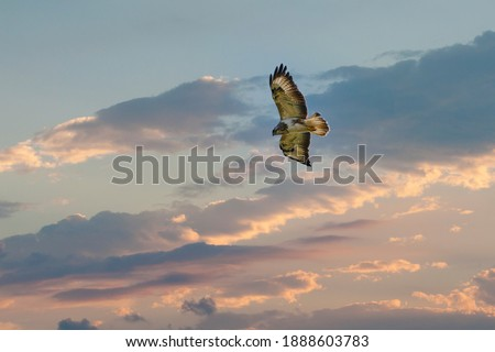 Beautiful adult buzzard eagle, Buteo buteo, in flight with dramatick sky background. Flying bird of prey screaming with vibrant colors and space for text.