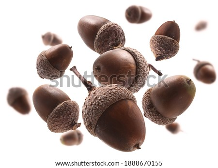 Ripe acorns levitate on a white background Royalty-Free Stock Photo #1888670155