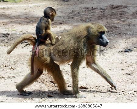 Guinea baboon (Papio papio); female with baby