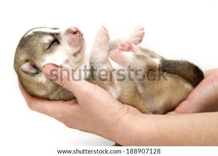 newborn Siberian Husky puppy, age of 7 days #188907128