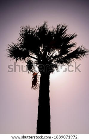 Tropical Canarian Green Palm Leaf Background in Summer Royalty-Free Stock Photo #1889071972