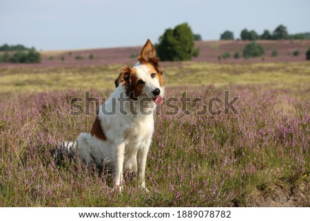 Beautiful dog Leila poses in the wonderful, blooming heather