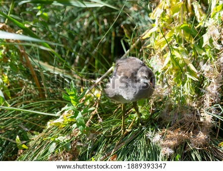 Juvenile moorhen standing on a mound of grass. Royalty-Free Stock Photo #1889393347