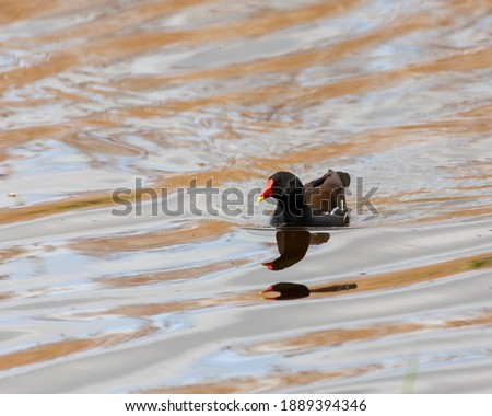 Adult moorhen swimming towards you with a reflection. Royalty-Free Stock Photo #1889394346