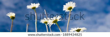Daisies against blue sky background - banner images Royalty-Free Stock Photo #1889434825