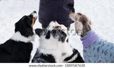 Three australian shepherd and saluki sitting and waiting for food in winter