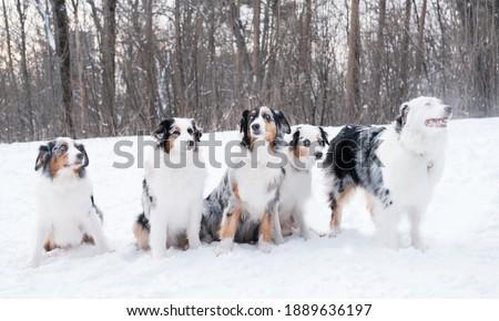 Five australian shepherd sitting in winter forest. Frozen plants.