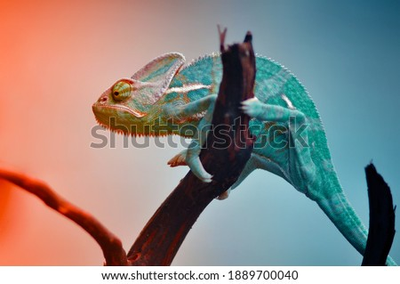 The Chameleon reptile in Gradation Color  Royalty-Free Stock Photo #1889700040