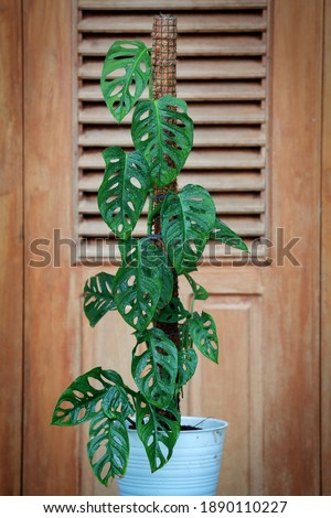 Monstera Acuminata, Monstera Adansonii, Monstera Obliqua are plants that are currently popular in Indonesia as Janda Bolong, Rondo Bolong or Janbol.The Swiss Cheese plant or Five Holes Plant. Royalty-Free Stock Photo #1890110227