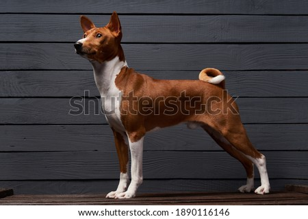 Pedigree Basenji dog standing looking out of frame, over grey planks background Royalty-Free Stock Photo #1890116146