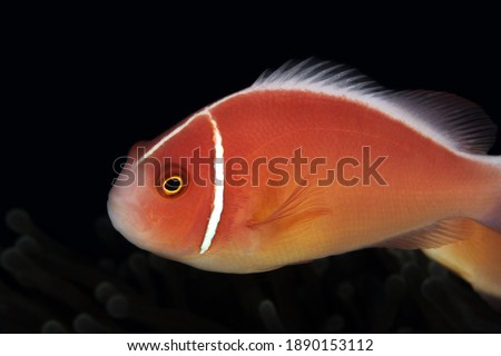 Pink Anemonefish (aka Pink Skunk Clownfish, Amphiprion perideraion) in an Anemone. Anilao, Philippines