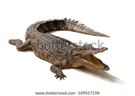 Crocodile on a white background. Royalty-Free Stock Photo #189017198