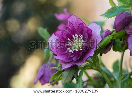 Lenten rose or hellebore flowers  Double Ellen Picotee which naturally nod. Evergreen plant Hellebore rose flower or lenten rose. Poisonous winter flowering plant Double Ellen Picotee Royalty-Free Stock Photo #1890279139
