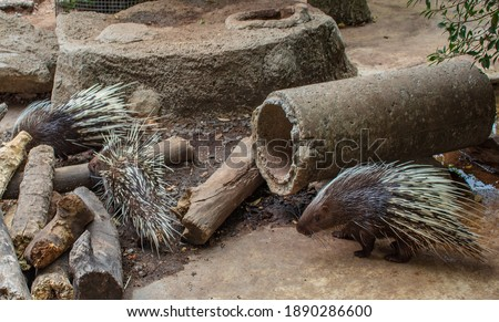 Porcupines. A family of porcupines moves around in the zoo's aviary.