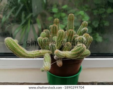 The beauty of the peanut cactus  Royalty-Free Stock Photo #1890299704