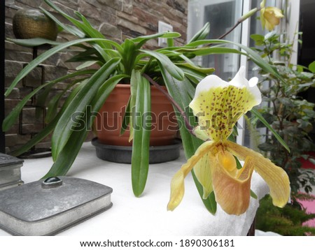 Color of Cypripedium in nature  Royalty-Free Stock Photo #1890306181
