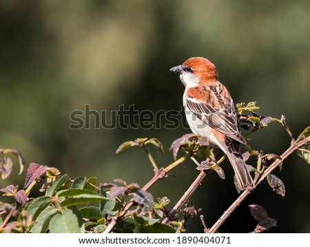 Beautiful Russet Sparrow sitting bushes. Beautiful sparrow with nice green background.