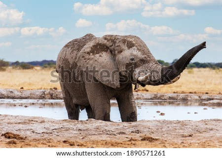 An adult African elephant with big tusks giving itself a mud and sand bath in the savannah. Nxai Pan National Park, Botswana - Africa Royalty-Free Stock Photo #1890571261