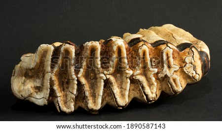 The largest of an elephants teeth used to grind food, the M6 molar, weighs several kilograms and is gradually worn down to the point the elephant dies from malnutrition at about 60 years of age. Royalty-Free Stock Photo #1890587143