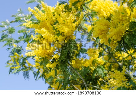 Mimosa tree with bunches of fluffy tender flowers of it. Background of yellow mimosa tree. Concept of holidays and mimosa flower decoration #1890708130