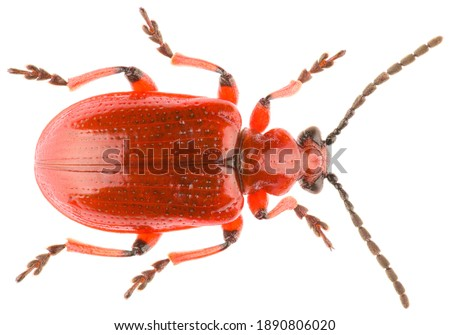 Leaf beetle Lilioceris merdigera is a species of beetle belonging to the family Chrysomelidae, subfamily Criocerinae. Dorsal view of leaf beetle isolated on white background. Royalty-Free Stock Photo #1890806020