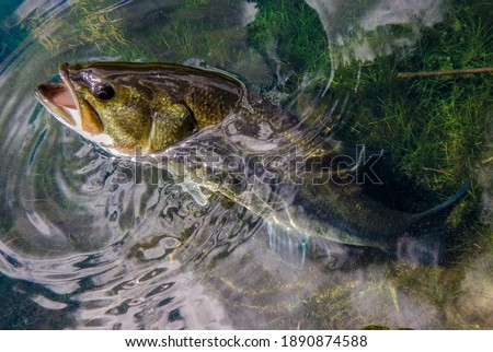 Fishing Detail of a Large Mouth Bass in a Lake Royalty-Free Stock Photo #1890874588