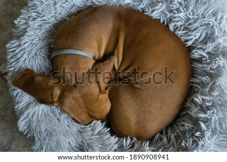 An red-haired dachshund is resting in a grey bed. Dachshund sleeping in bed. Spain Royalty-Free Stock Photo #1890908941