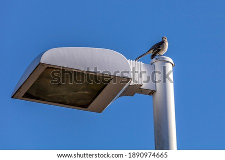 Northern Mockingbird perched on a street light pole