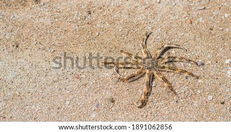 BANNER Sea aquatic unusual nine leg Starfish skeleton echinoderm Luidia arm taper at end bear fringe of white spine. Yellow colour dark orange stripes. Sand, tourism, oceanology marine biology concept Royalty-Free Stock Photo #1891062856