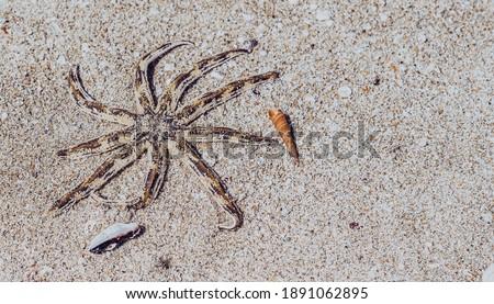 BANNER Sea aquatic unusual nine leg Starfish skeleton echinoderm Luidia arm taper at end bear fringe of white spine. Yellow colour dark orange stripes. Sand, tourism, oceanology marine biology concept Royalty-Free Stock Photo #1891062895