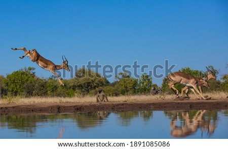 Impala leaping in front of a baboon at a water hole