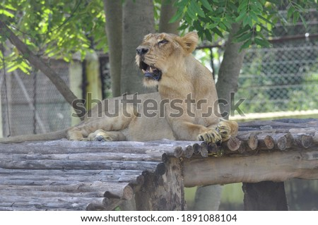 picture of sitting lion in zoo