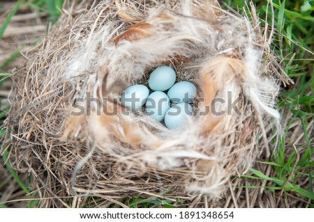 Robin bird eggs. five pieces of small light bluewhere mottled shells lie in a nest coiled from feathers and dry twigs Royalty-Free Stock Photo #1891348654