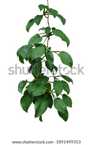 Hanging vine plant with dark green leaves and fruits of tropical forest climbing plant (Scindapsus officinalis), herbal medicinal plant isolated on white background with clipping path. Royalty-Free Stock Photo #1891499353