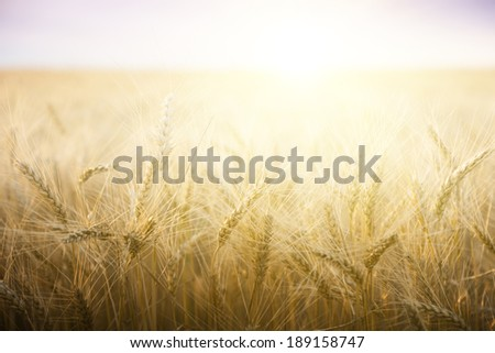 Wheat field on a Sunny day. Agriculture. #189158747