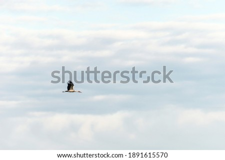 Stork flying in a blue sky with clouds. landscape, screensaver, background, wallpaper.