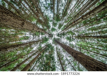 Canopy shyness - pine grove NZ Royalty-Free Stock Photo #1891773226